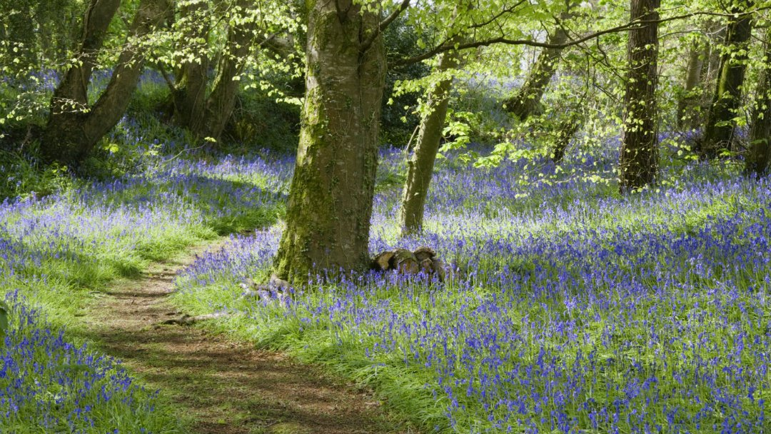 bluebell woods at Godolphin in Cornwall