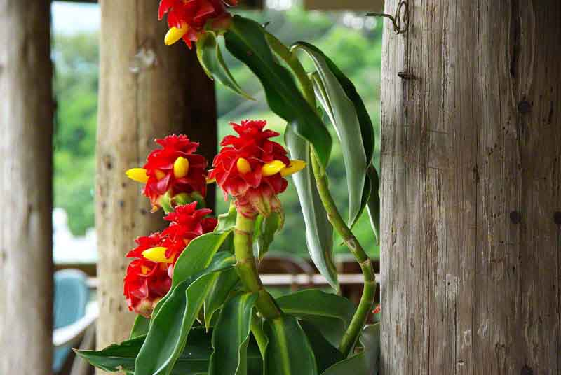 Ryukyu Life Flower Photo Red Tower Ginger Costus Comosus