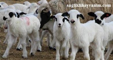 koyunların gebelik ve doğum belirtileri
