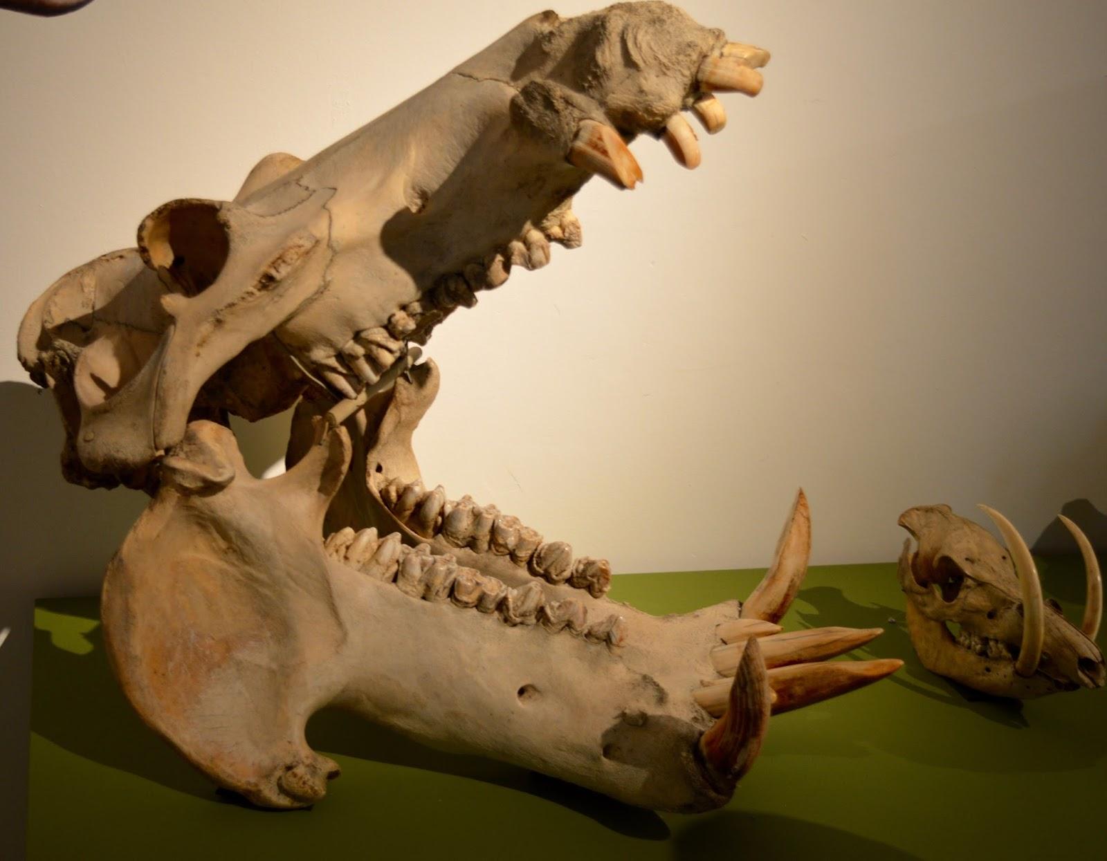 Bones Exhibition at Hancock Museum, Newcastle - Hippo skull