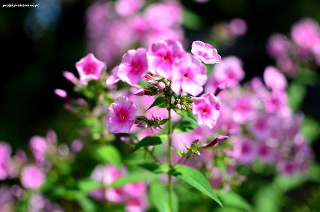 Kwitnące floksy