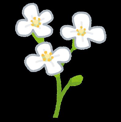 シロイヌナズナのイラスト(花)
