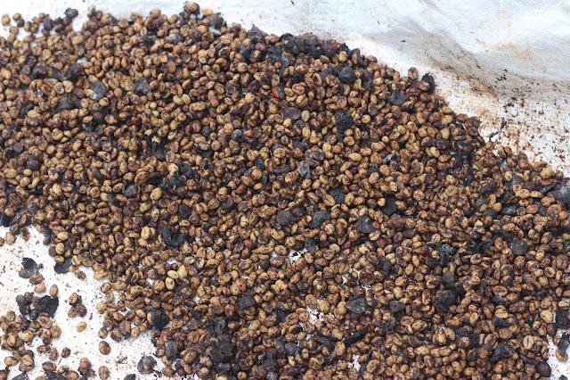Cà phê máng chồn sau khi ủ được phơi khô thủ công, sẵng sàng cho quá trình đánh vỏ và rang xay
