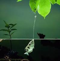 السمك القناص Archer Fish