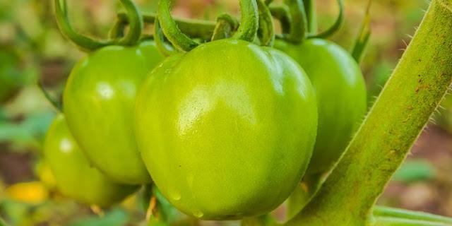 Keajaiban Tomat Hijau untuk Sembuhkan Varises