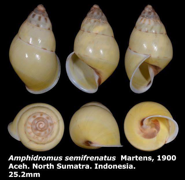 Amphidromus semifrenatus 25.2mm