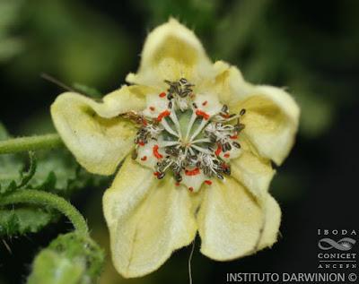 Caiofora (Caiophora clavata)