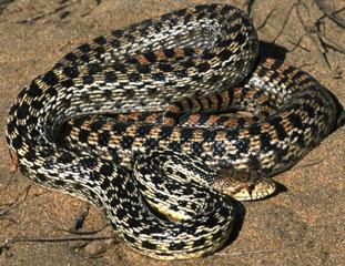 Eastern pine Snake