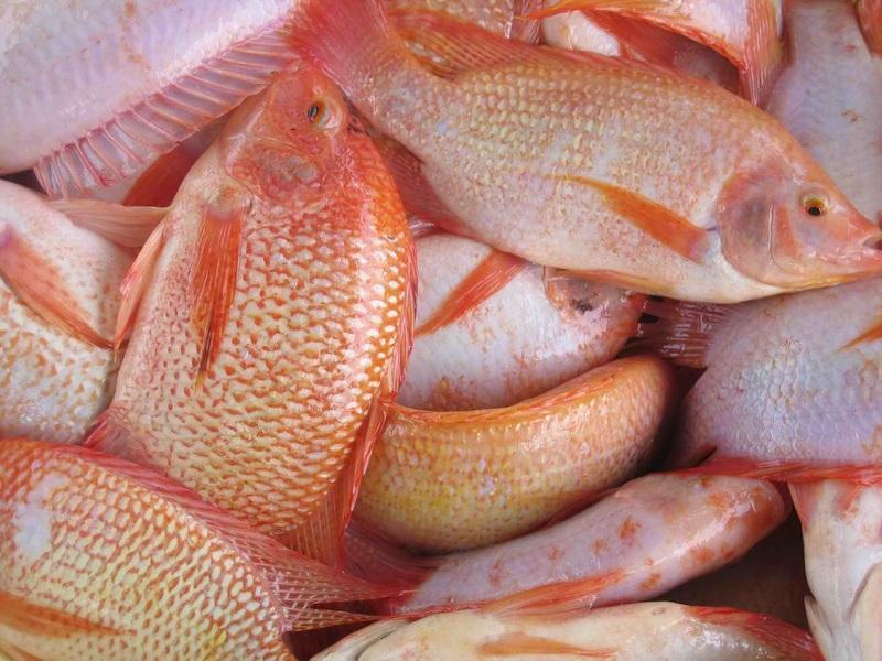 cara pemijahan ikan nila di kolam terpal