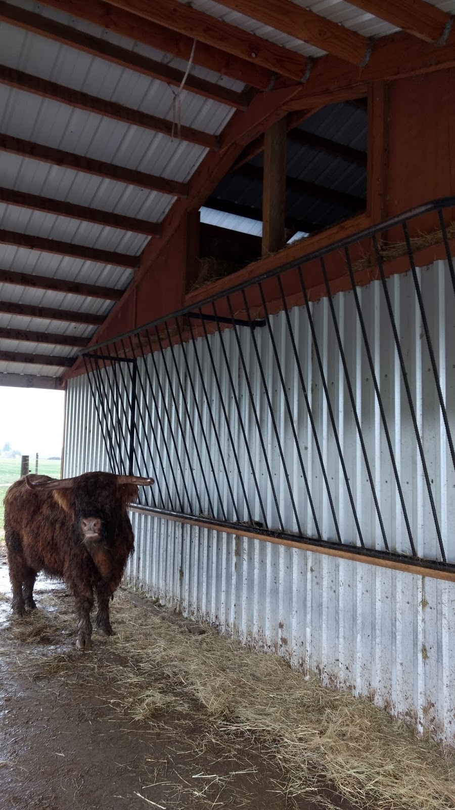 trials feeder and picture raising cattle hay texas joys longhorn management west in orig haylage blog