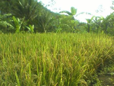 Pupuk Organik Bokhasi Dan Manfaatnya Bagi Tanaman Padi