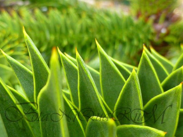 Botaniquarium - Araucaria araucana spikey leaves