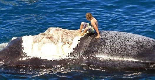 Resultado de imagem para Surfista sobe em baleia sem saber que ela era a refeição de dezenas de tubarões. Veja o vídeo
