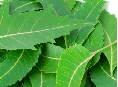 Neem Oil a Home Remedies to stay away from lice