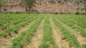 ORGANIC CULTIVATION