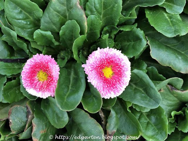 rosarote Gänseblümchen