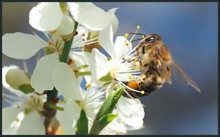 honey bee sucking necter from flower,nature,necter,