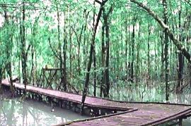 hutan+payau+cilacap