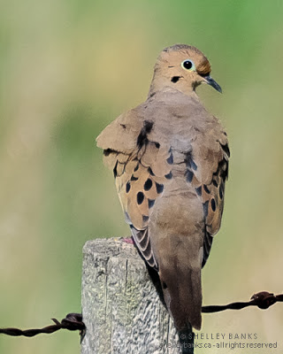 Mourning Dove. Photo © Shelley Banks, all rights reserved.