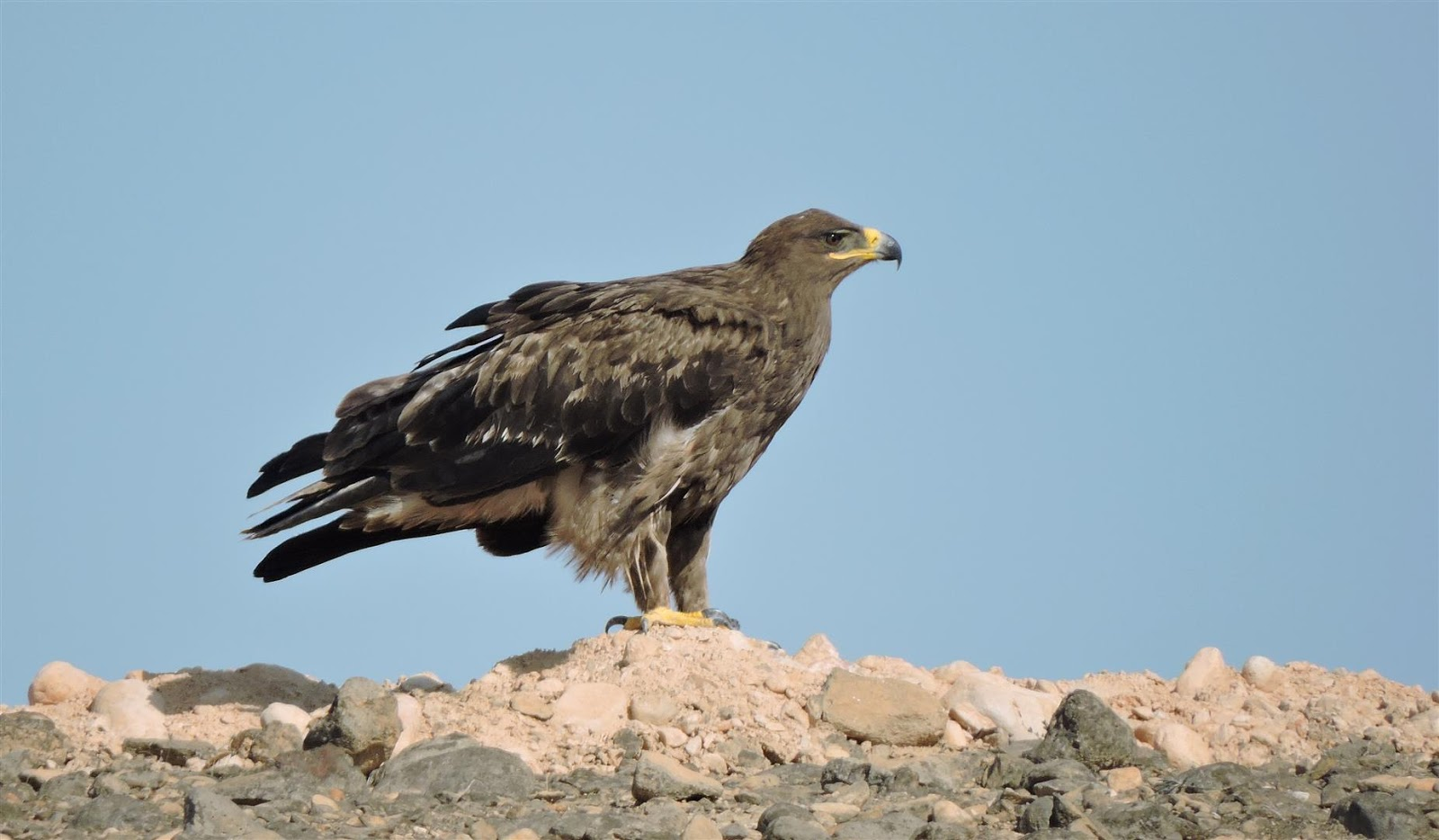 Eagles and water birds at Raysut