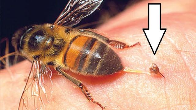 سبب موت النحلة بعد اللسع مباشرة