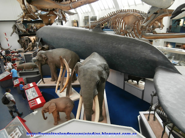 Sala de la ballena azul del Museo de Historia Natural de Londres.