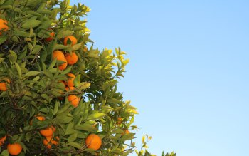 Wallpaper: Tree Natural Fruits Oranges Clementines