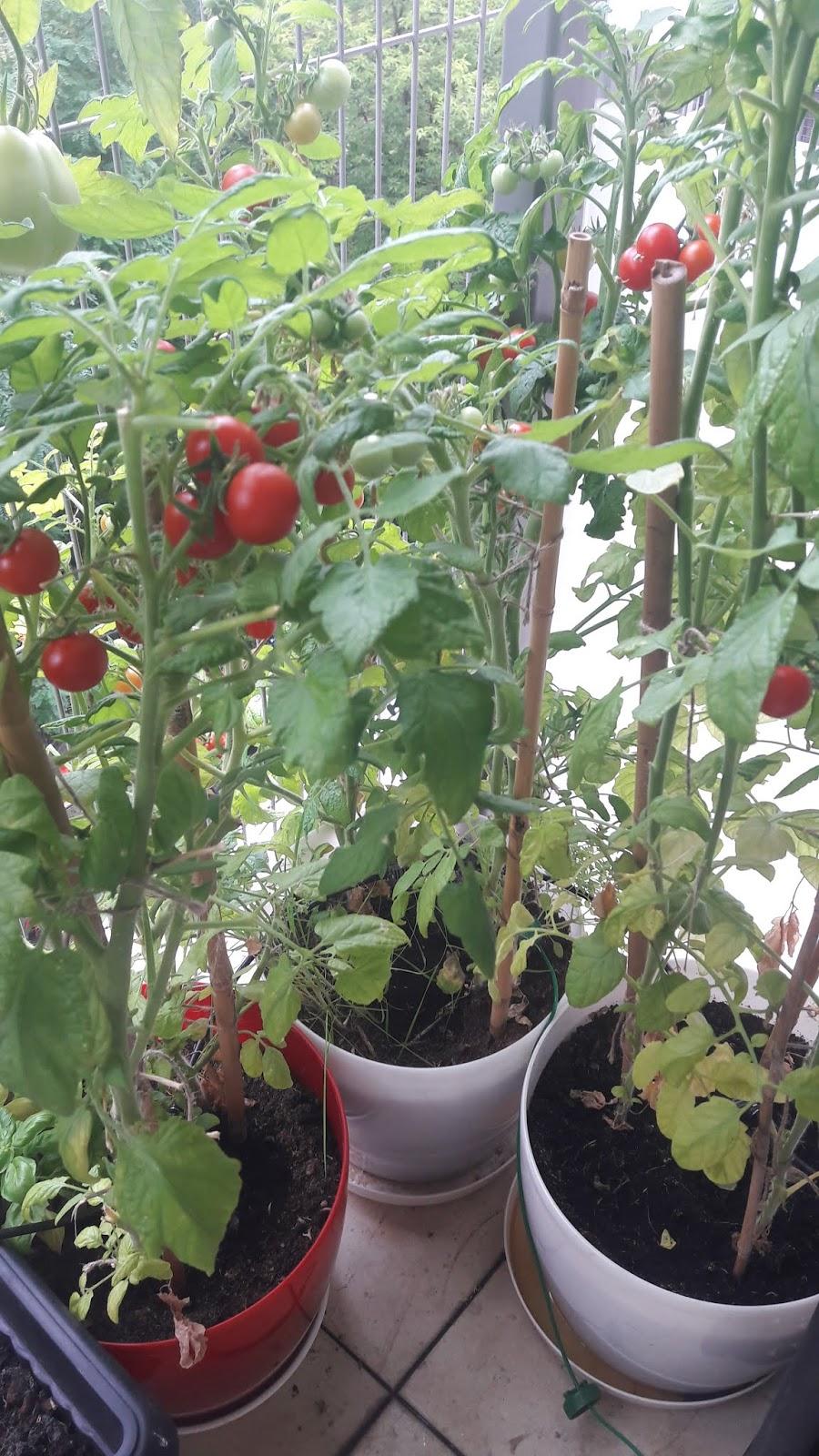 Własne Warzywa Na Balkonie Hodowla Z Nasion Vs Gotowe Sadzonki