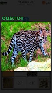 Дикая кошка оцелот бродит в поисках добычи по территории