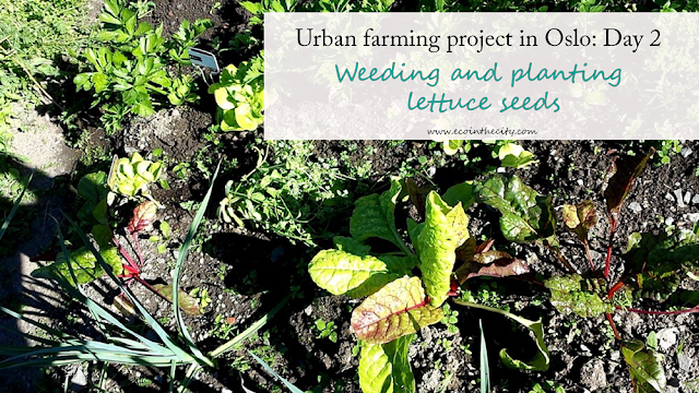 Urban farming project in Oslo: Day 2 - weeding and planting lettuce seeds