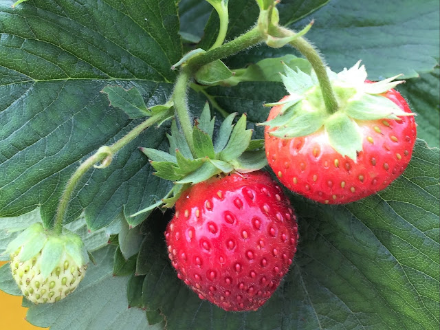 Reife Erdbeeren auf dem Genussbalkon