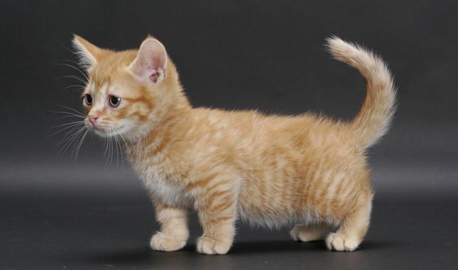 Hasil gambar untuk Munchkin kucing