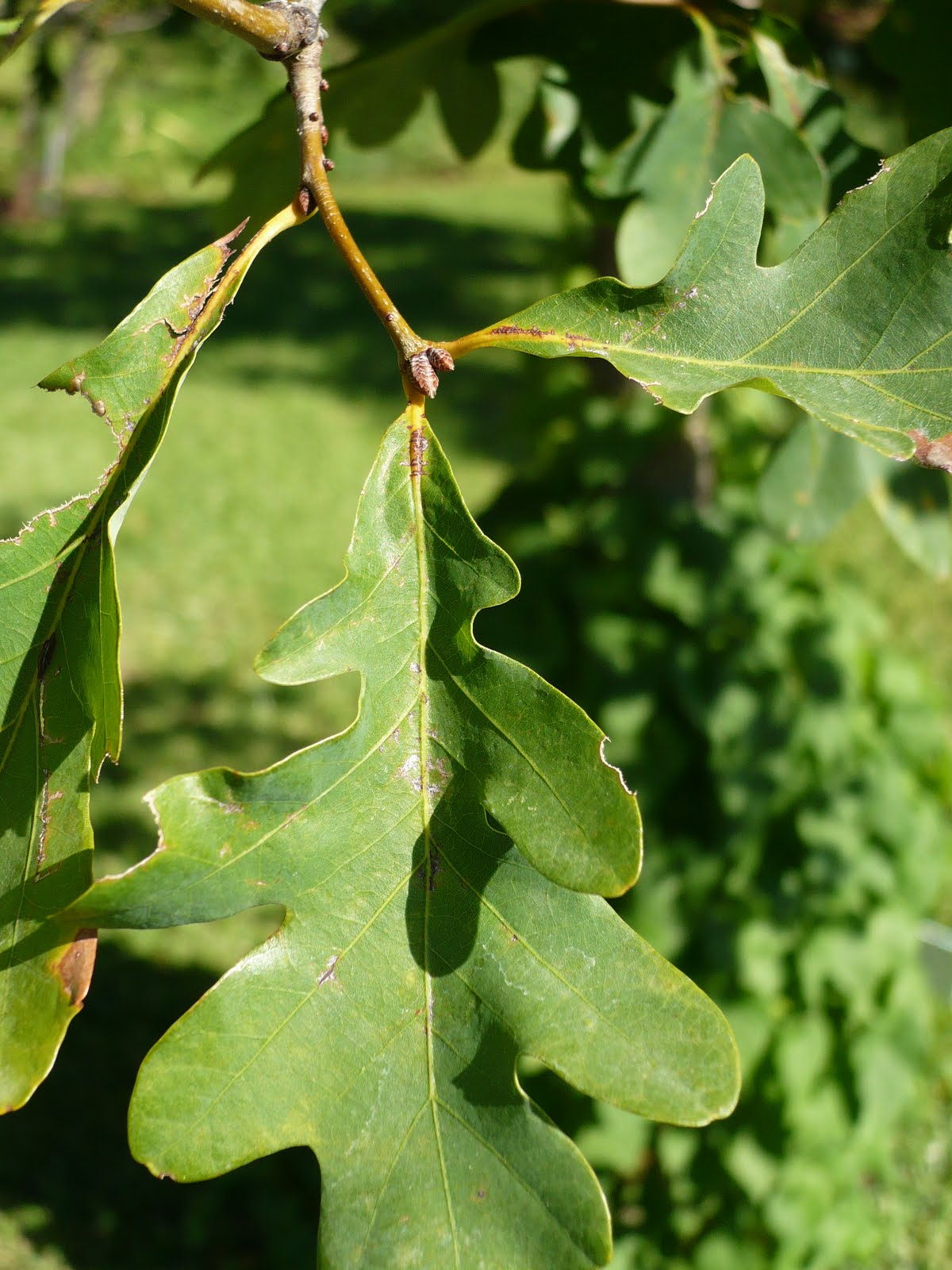 Centenary College Arboretum: Quercus alba  Centenary Colle...