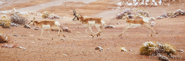 Pronghorn Dash - Antelope galloping
