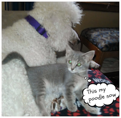 kitten claiming poodle is hers now -carmapoodale
