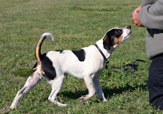 Danish–Swedish Farmdog-pets-dogs-dog breeds