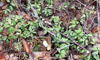 Anémone des bois annonçant l'arrivée de la saison des morilles