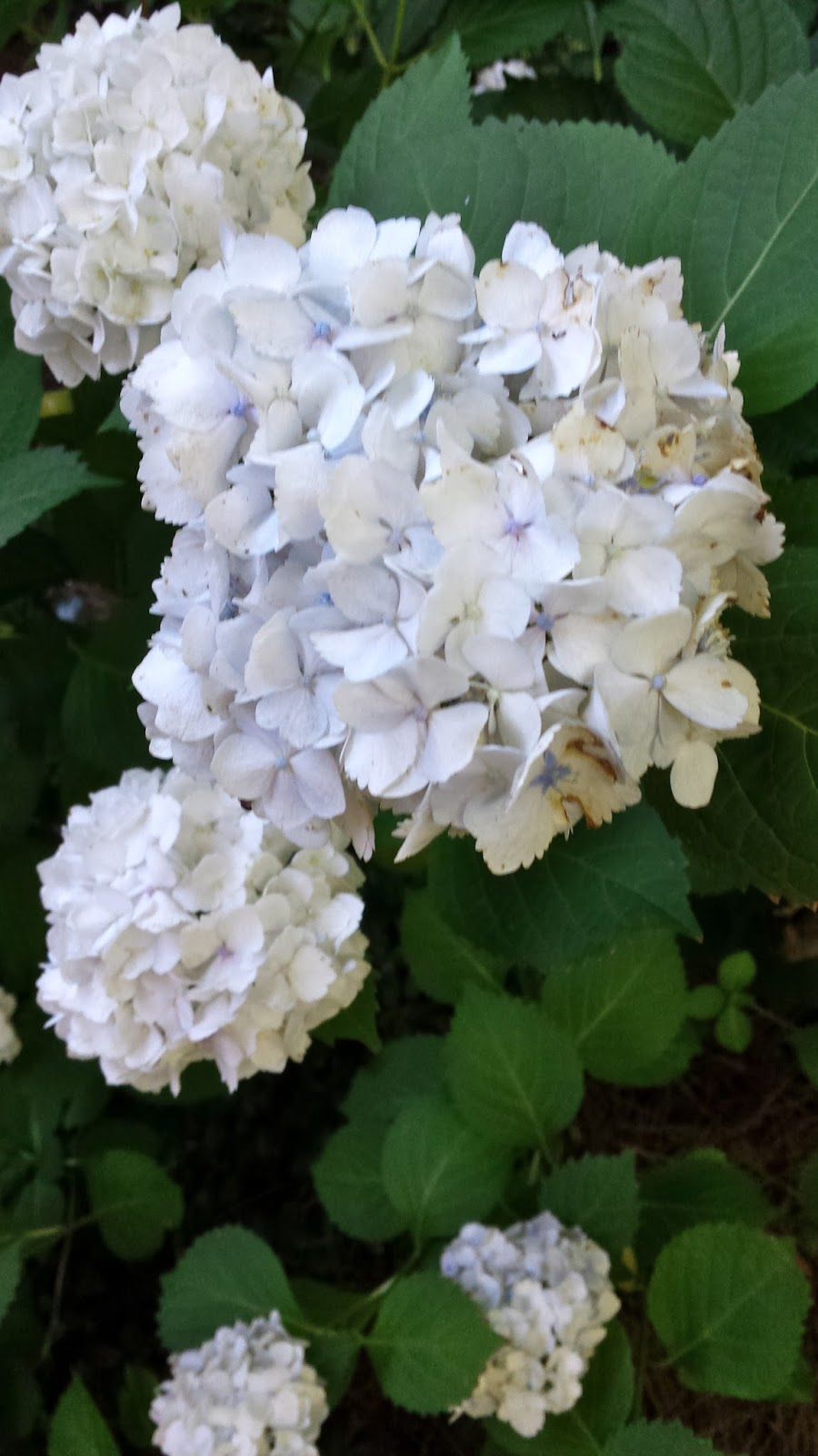 Hydrangea Didn't Flower This Year Grow It First | Ck Worley | Best Essential Oils Atlanta