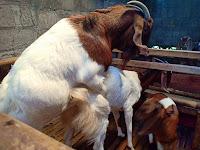 Cara Ternak Kambing Pedaging Unggulan - Budidaya Kambing Boer - 78 Farm