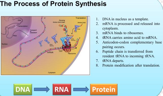 Proses sintesis protein sekolahpendidikan proses sintesis protein ccuart Images