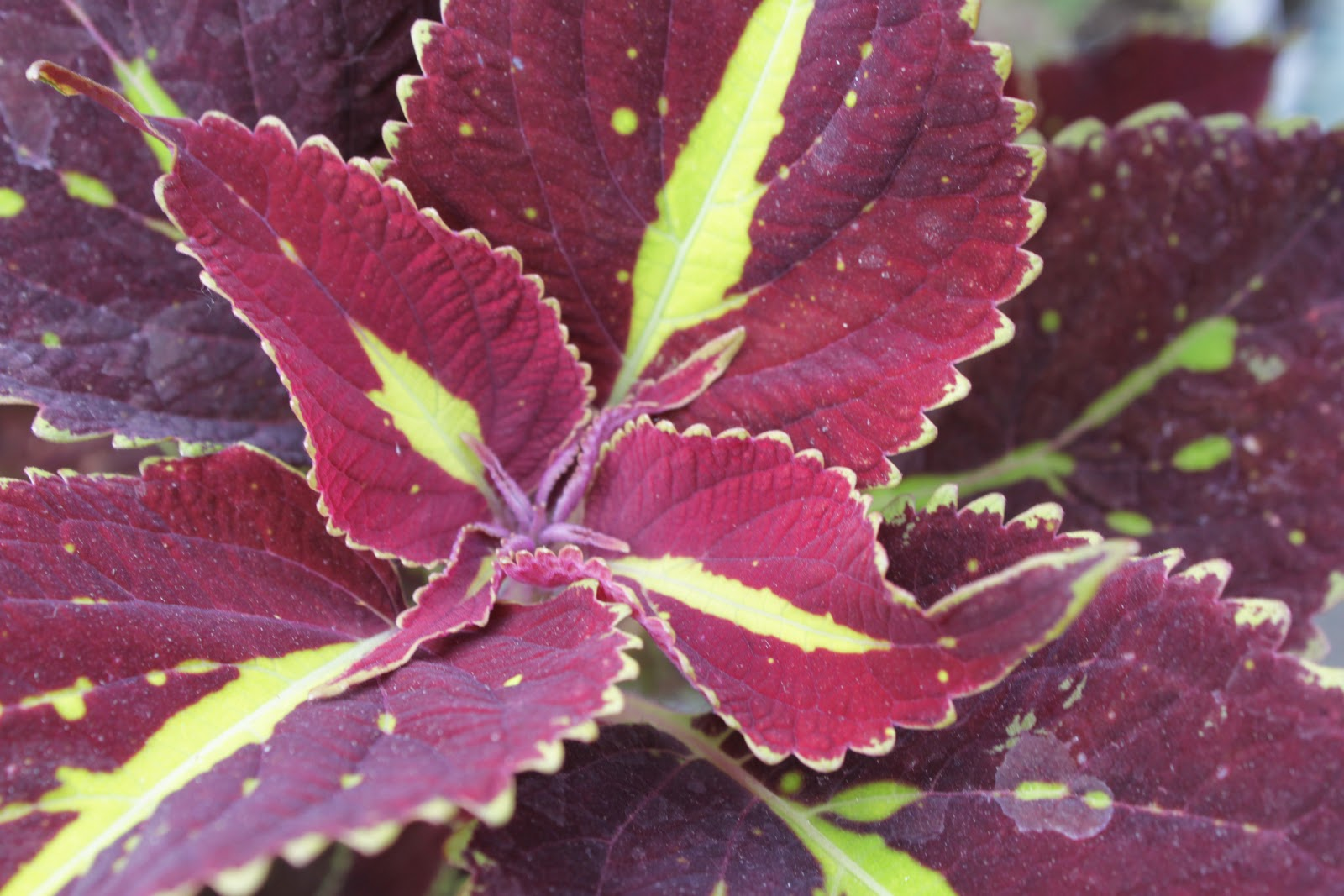 Coleus The Most Versatile Annual Ever Strange S
