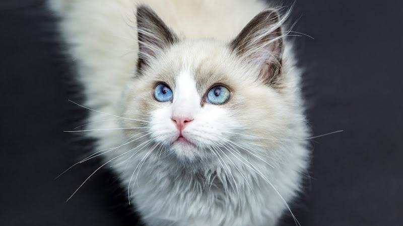 White Cat HD