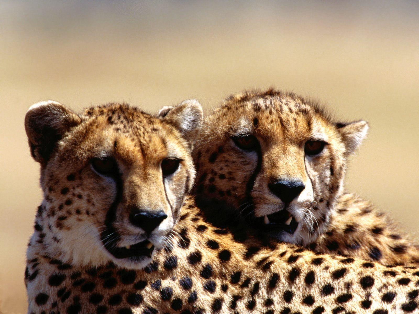 Creature 3d Movie Wallpaper Download Cheetah Wallpaper Zoom