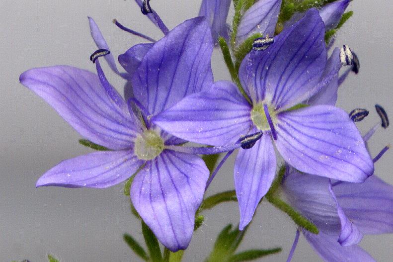 Les Jardins Du Laveu Veronique Langage Des Fleurs