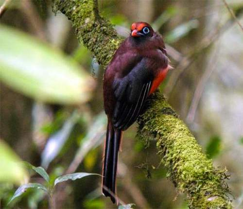 Indian birds - Ward's trogon - Harpactes wardi