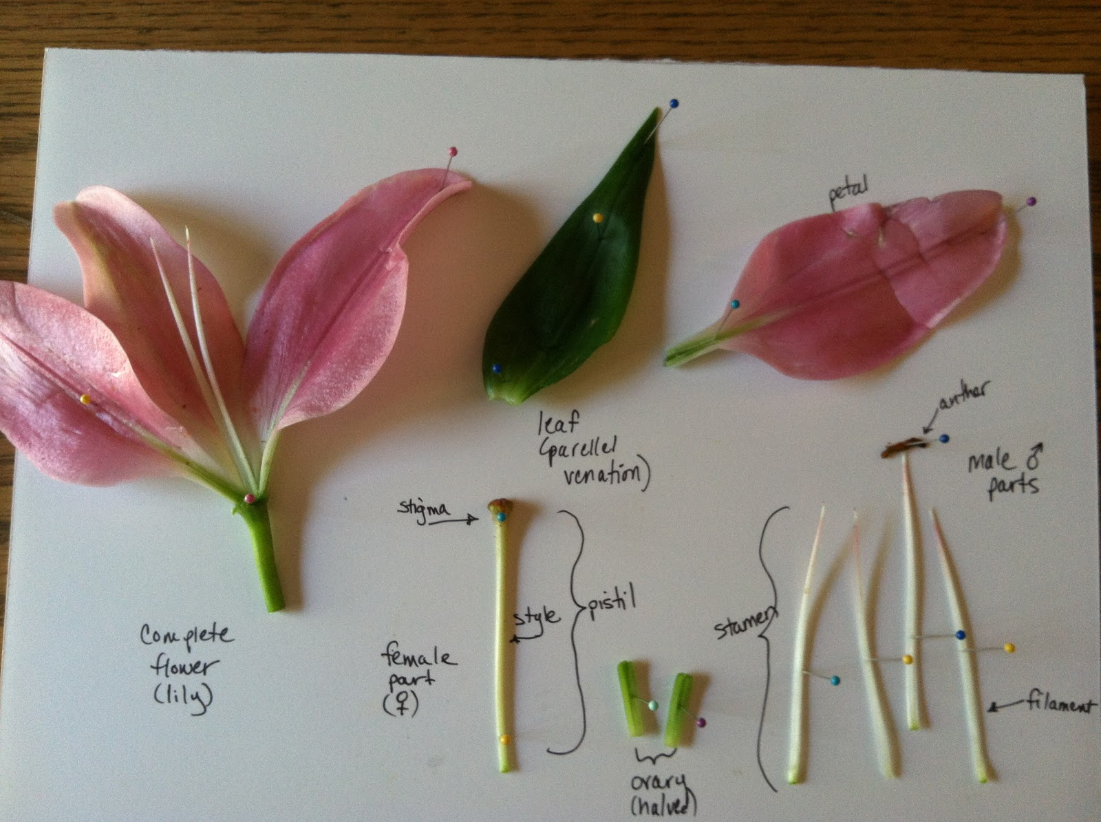Biology Class Tutorial Angiosperm Dissection Tutorial