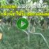 การปลูกมะม่วง 45 องศา แกล้งพืช ให้รีบออกผลผลิต