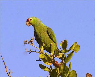 Amazona frente roja: Amazona autumnalis