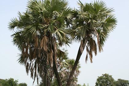 Manfaat Flora Zuriat (Hyphaene Thebaica)