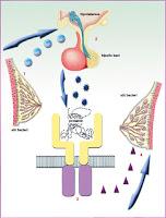 prolaktin-penyebab-tidak-subur